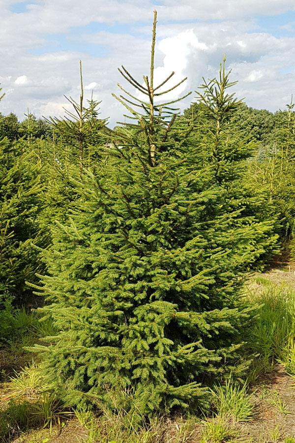 Echte Kerstboom Groene Spar Met Kluit