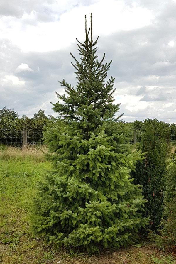 Echte Kerstboom Servische Spar Met Kluit